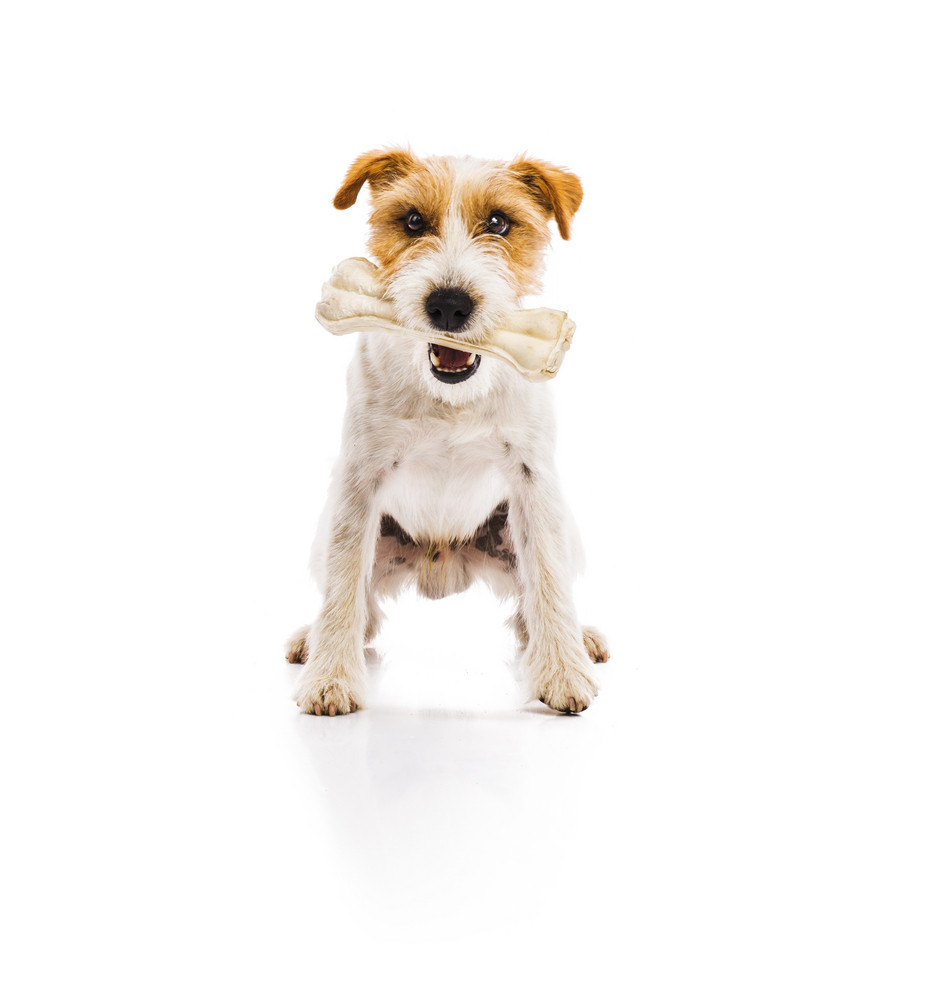 An adorable young parson russell terrier dog chowing bone isolated on white background