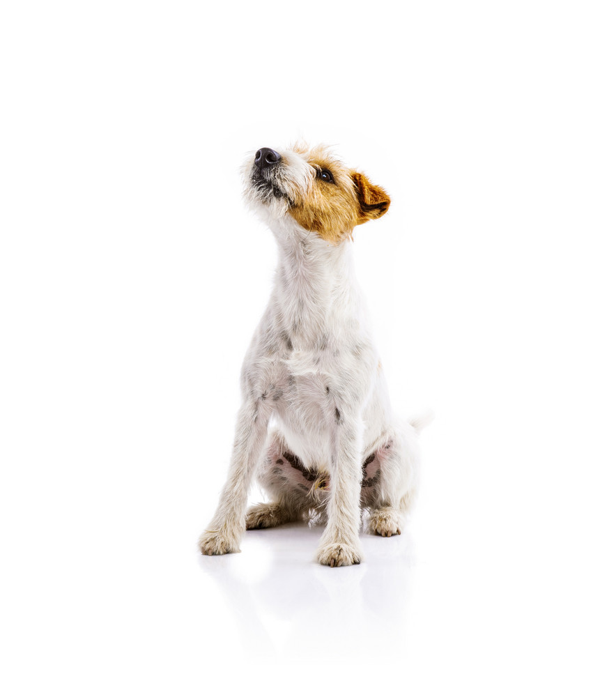 An adorable young parson russell terrier dog isolated on white background