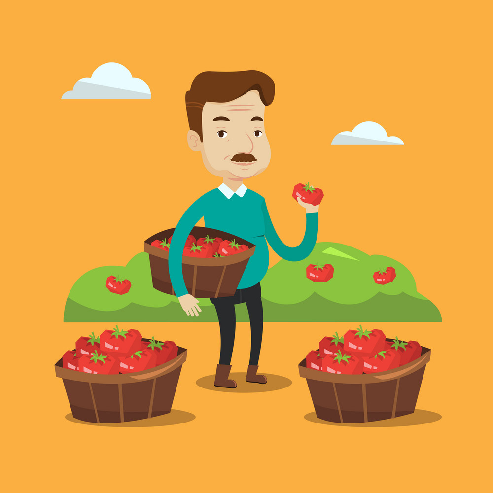 An adult farmer holding a box with tomatoes. Farmer standing near boxes with tomatoes and showing ripe red tomato on the background of field with bushes of tomatoes. Vector flat design illustration. Square layout.