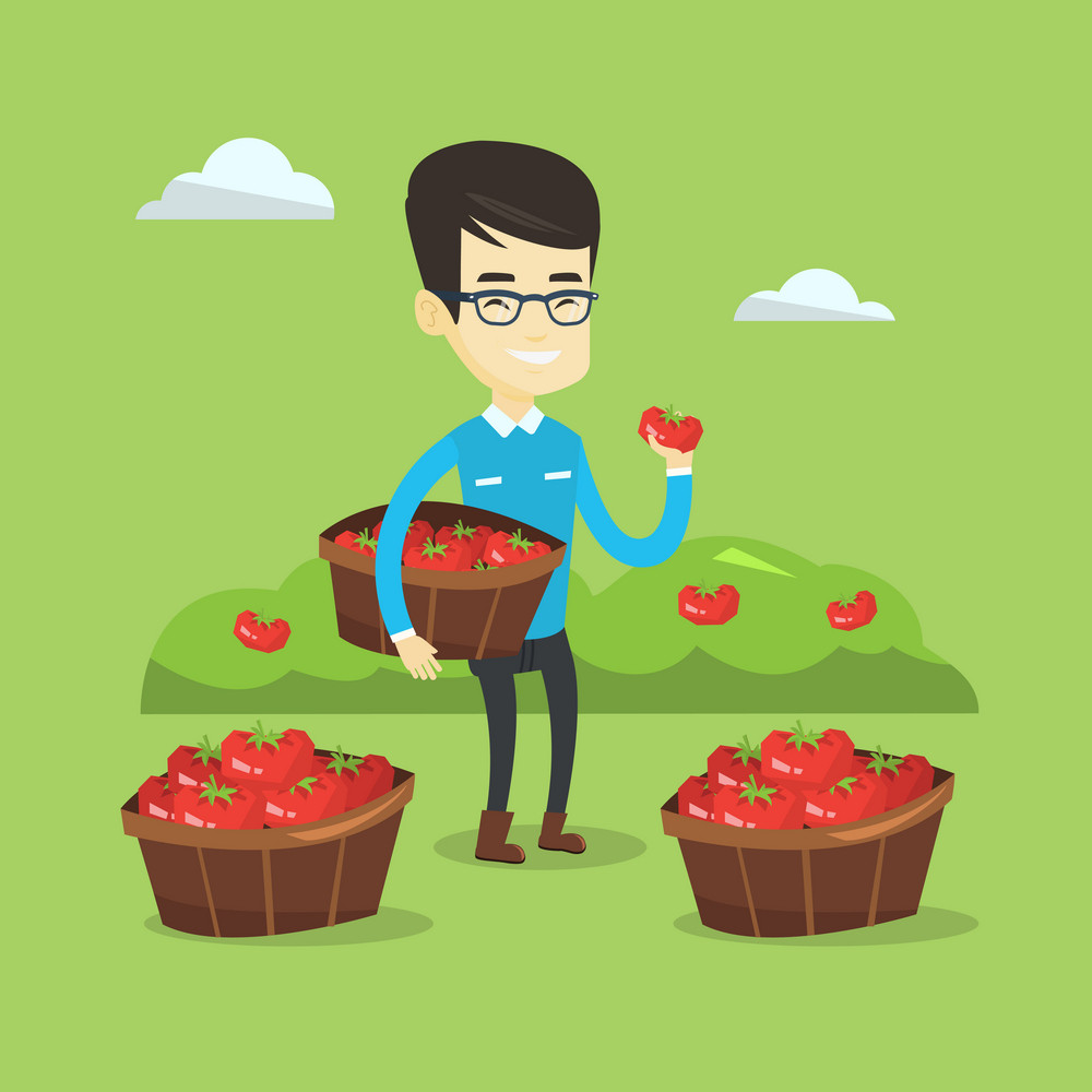 Asian farmer holding basket with tomatoes. Farmer showing ripe red tomato on the background of field with bushes of tomatoes. Farmer collecting tomatos. Vector flat design illustration. Square layout.