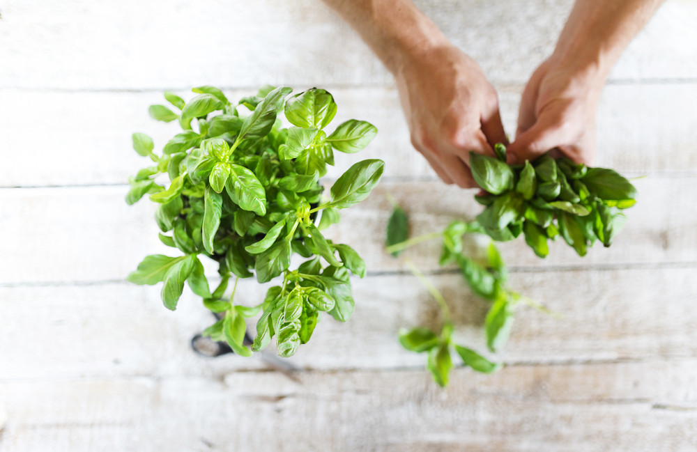 Basil leaves on a white wooden kitchen table