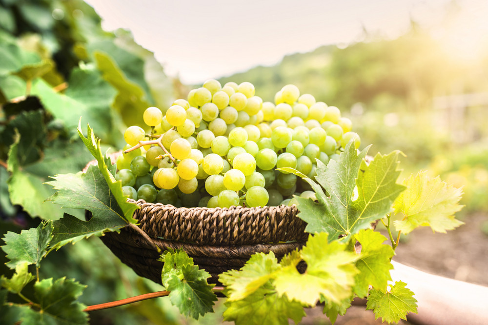 Basket full of grapes surrounded by green leaves
