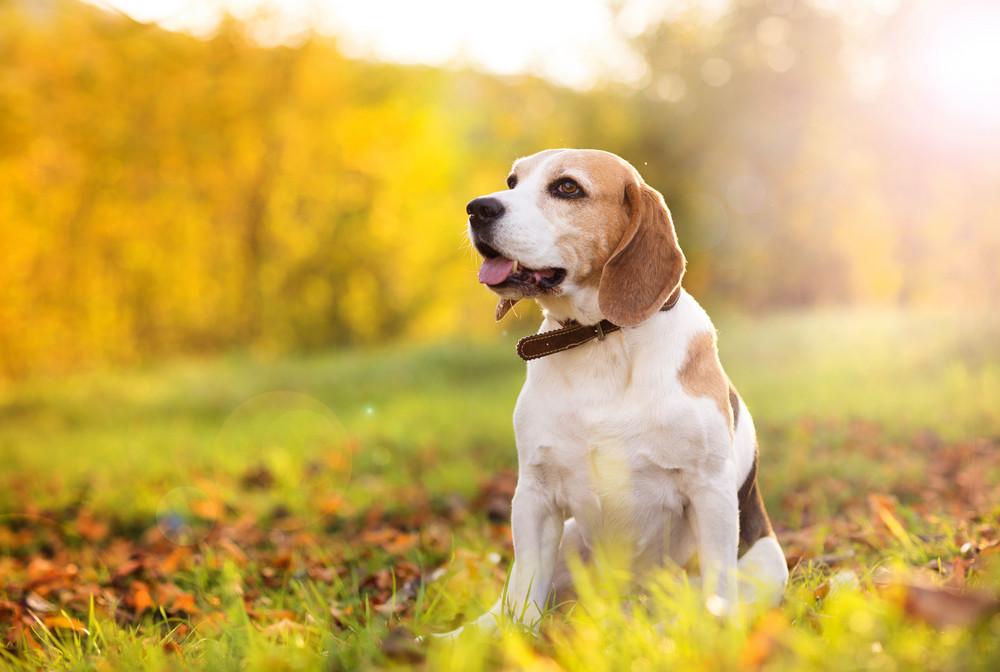 Beagle dog portrait on sunshine background in nature
