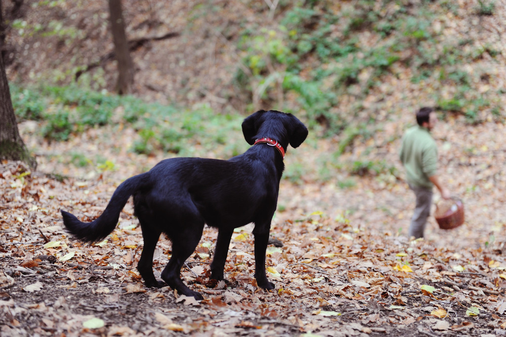 Black dog is in autumn forest at muschroom picking.