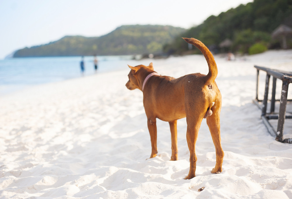 Brown dog relaxing on the sandy beach