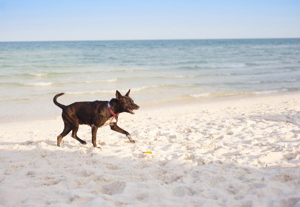 Brown dog running on the sandy beach