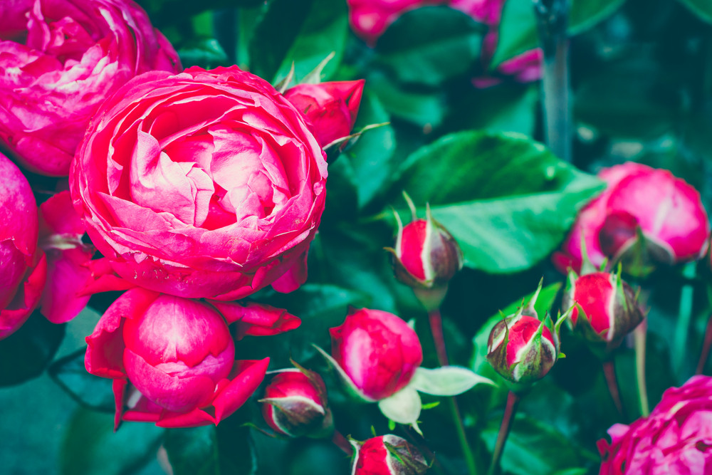 Centifolia rose bush with foliage. Natural flower. Soft focus. Copy space. Free place for text. Blossoming red rose buds. Open rose for card