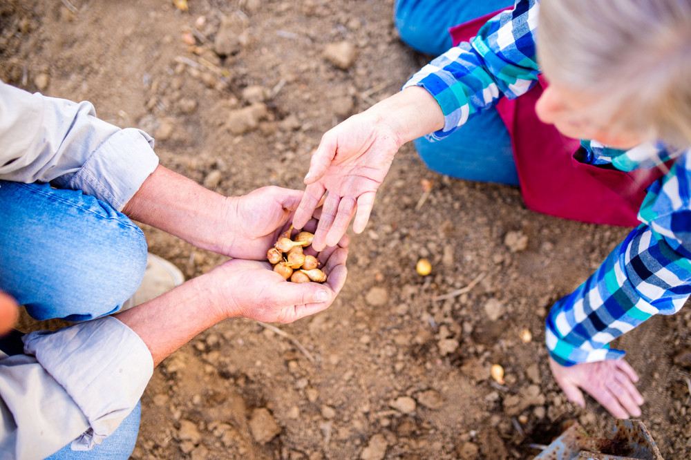 Close up hands of unrecognizable senior couple planting onions in row