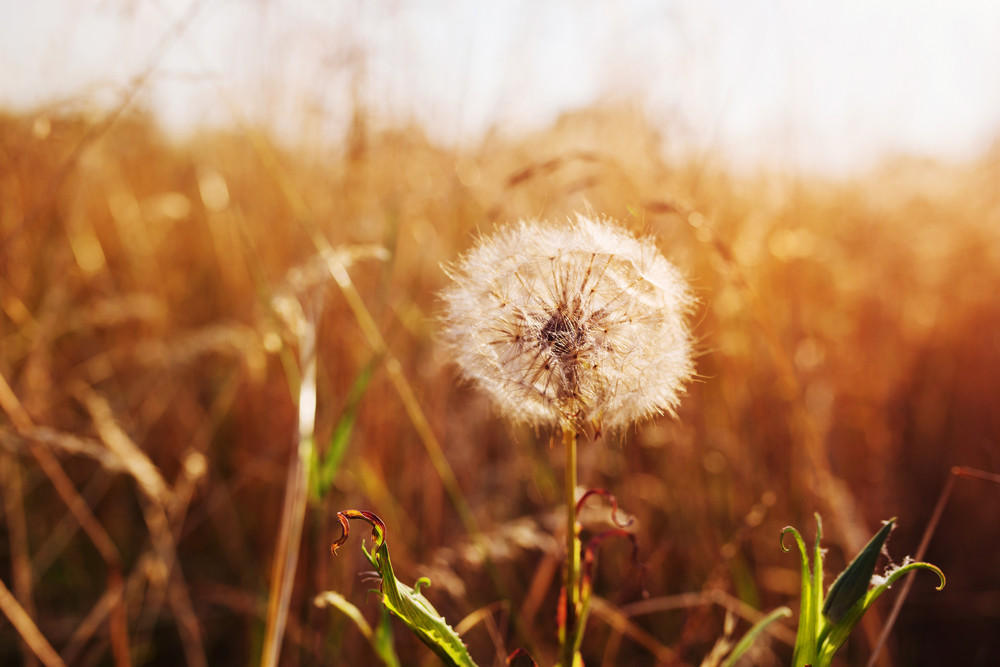 Close up of dandelion flower on a meadow