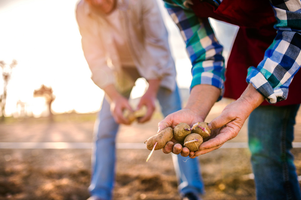 Close up of hands of unrecognizable senior couple planting potatoes into ground