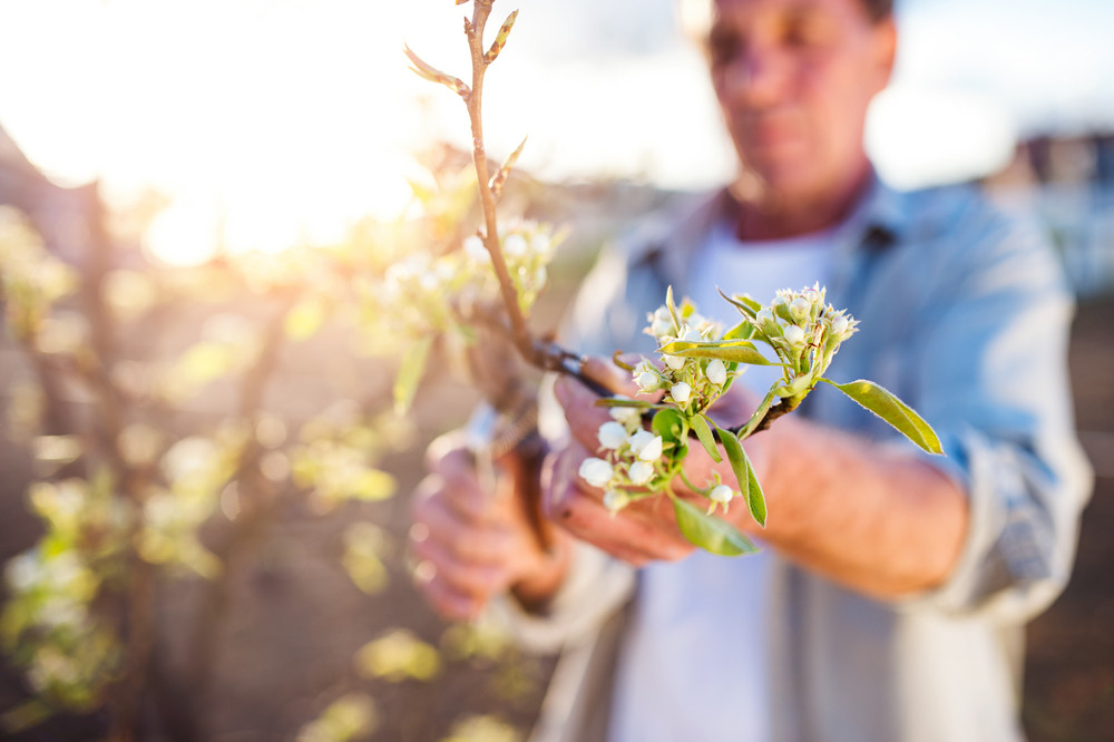 Close up of senior man pruning apple tree in his garden, sunny spring nature
