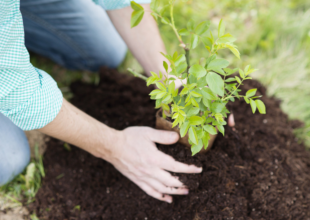 Close-up of young man's hands planting small tree in his backyard garden