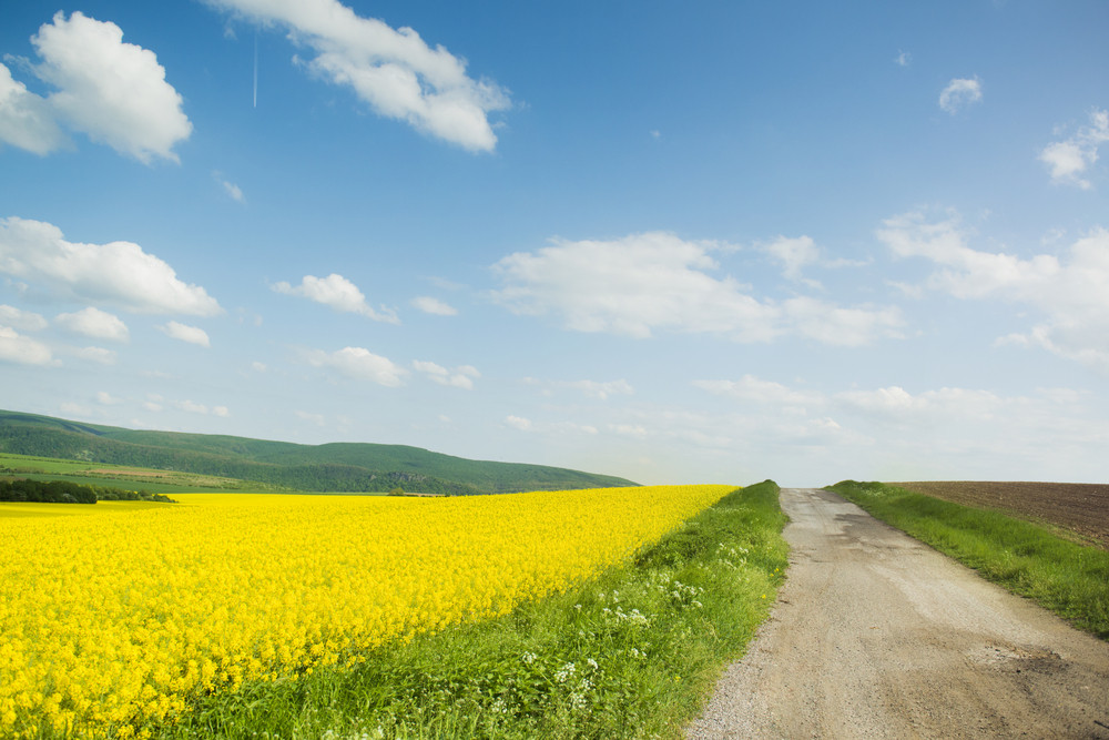 Countryside road and yellow colza field under blue cloudy sky