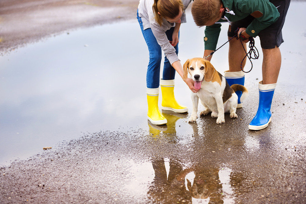 Couple walk dog in rain. Details of wellies splashing in puddles.