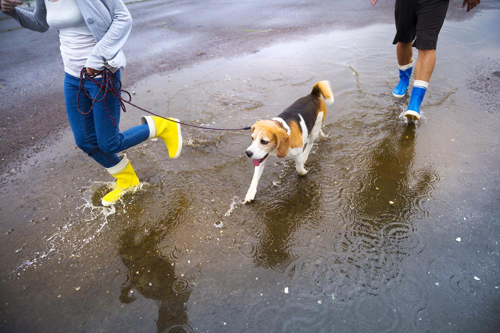 Couple walk dog in rain. Details of wellies splashing in puddles.