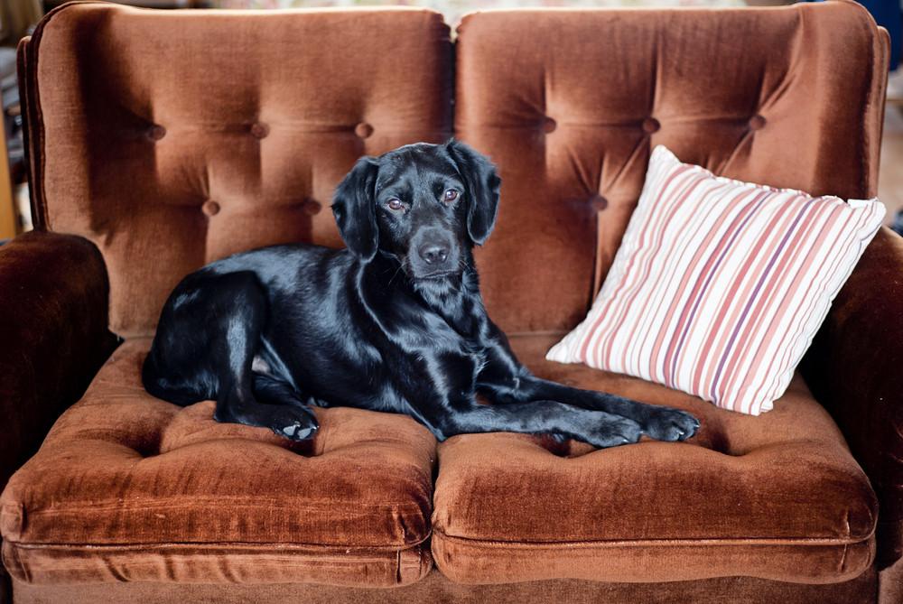 Cute black dog is lying on the sofa