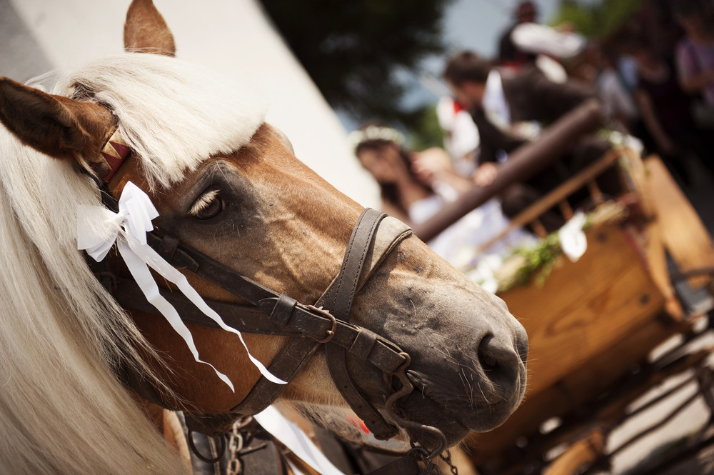 Detail of horse with decorative bridle pulling the wedding carriage
