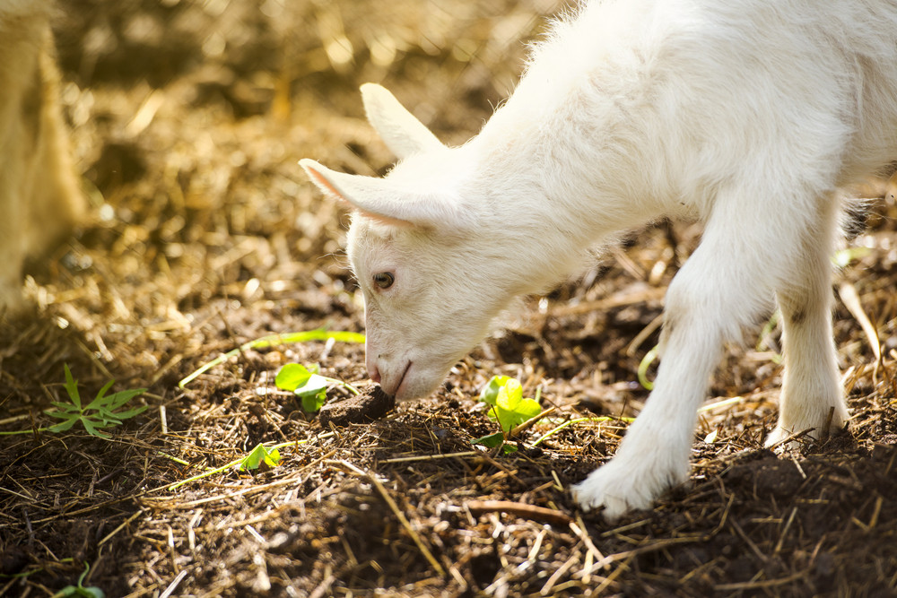 Dometic white goat eating dry straw on farm