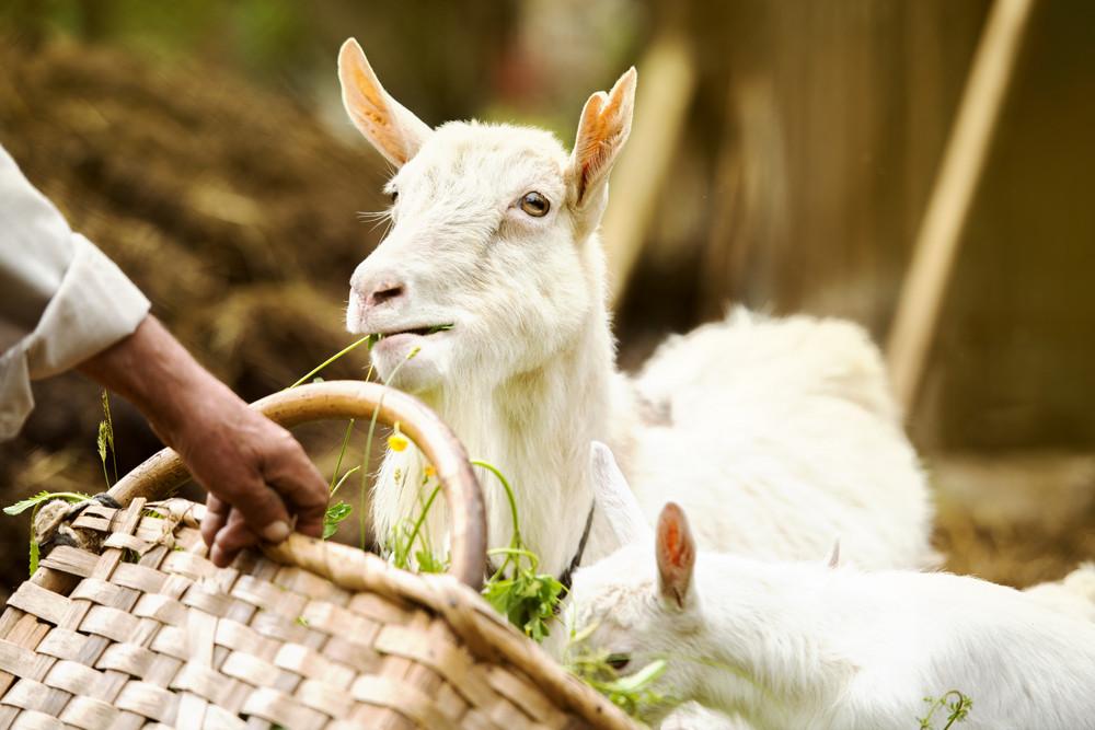 Dometic white goat eating grass from farmer's basket