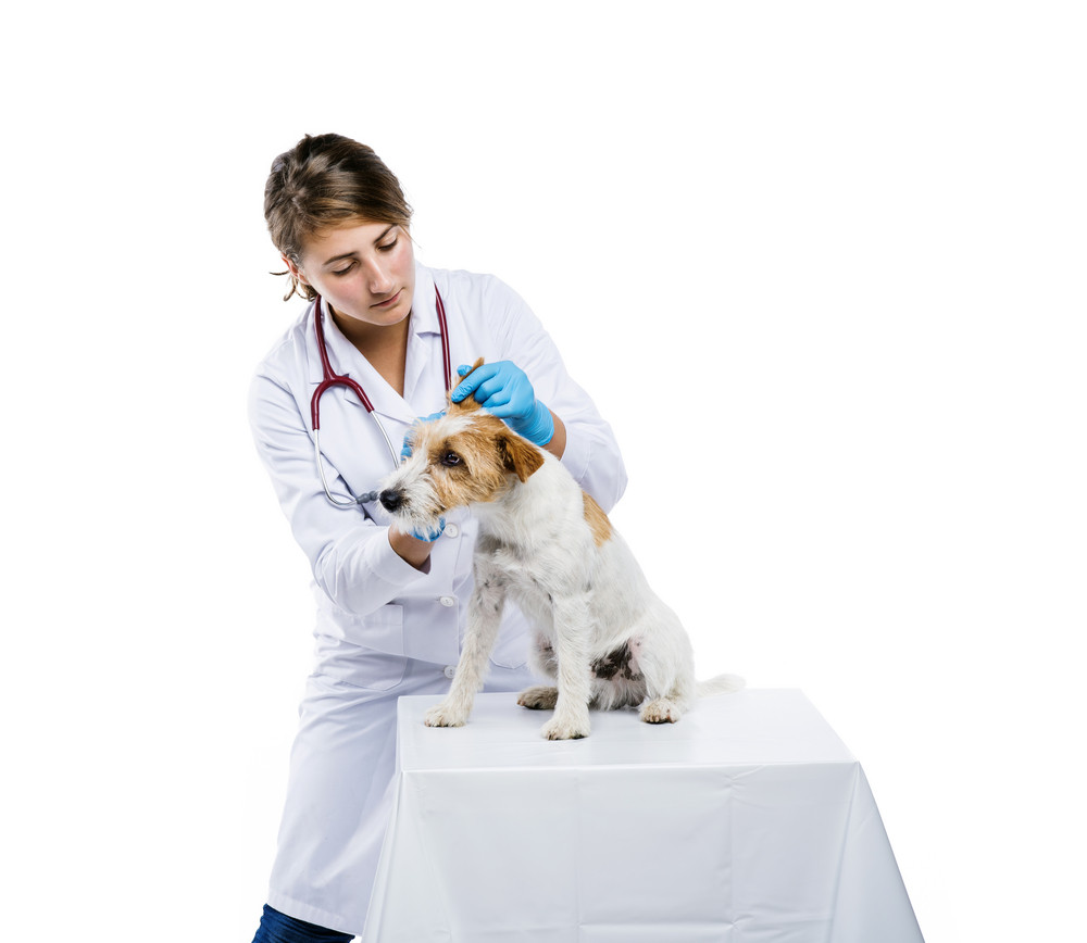 Female veterinarian examining parson russell terrier dog solated on white
