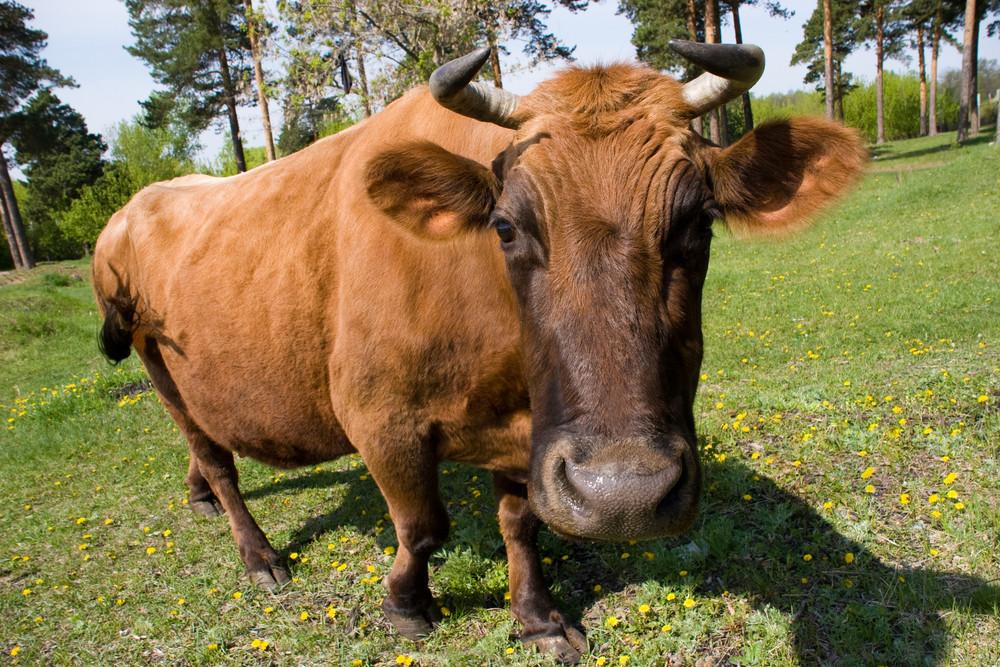 Fisheye de vaca marrom que pasta e que olha a câmera no prado verde no verão