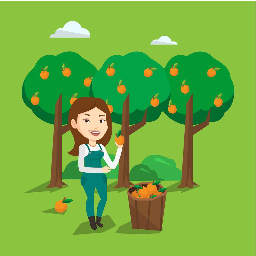 Gardener holding an orange on the background of orange trees. Female caucasian gardener collecting oranges. Gardener standing near basket with oranges. Vector flat design illustration. Square layout.