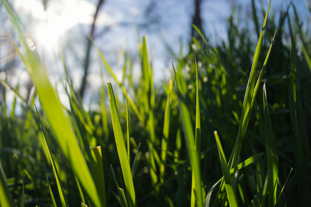 Green grass in the sun close up. On the background you can see the sky and trees.