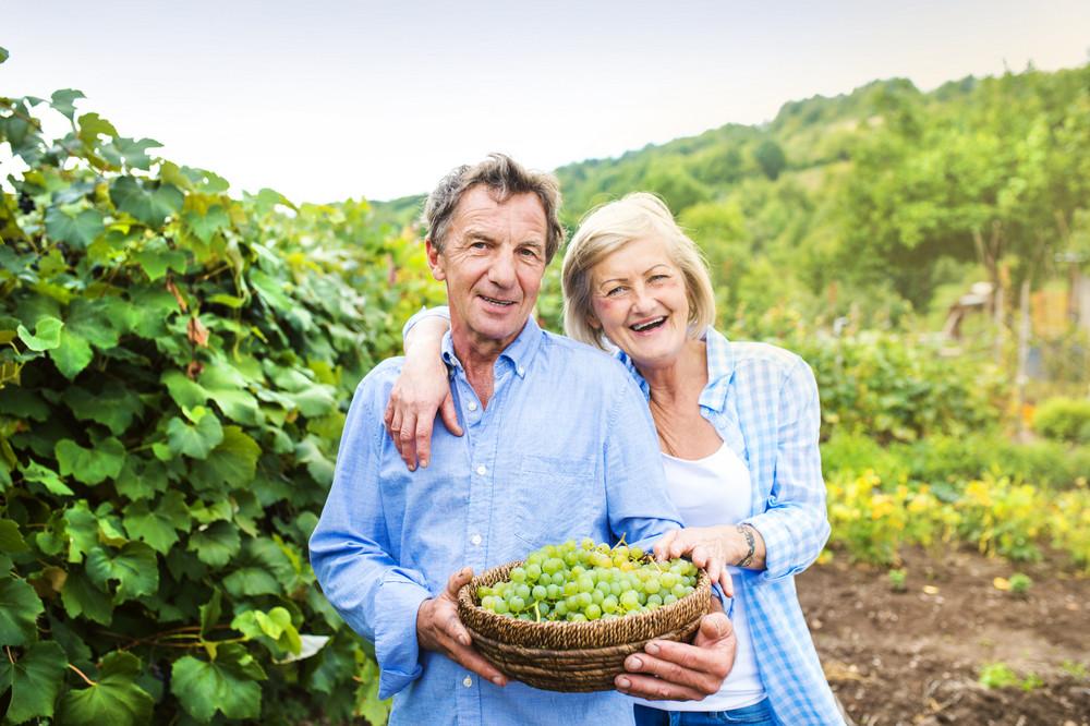 Portrait of a senior couple harvesting grapes