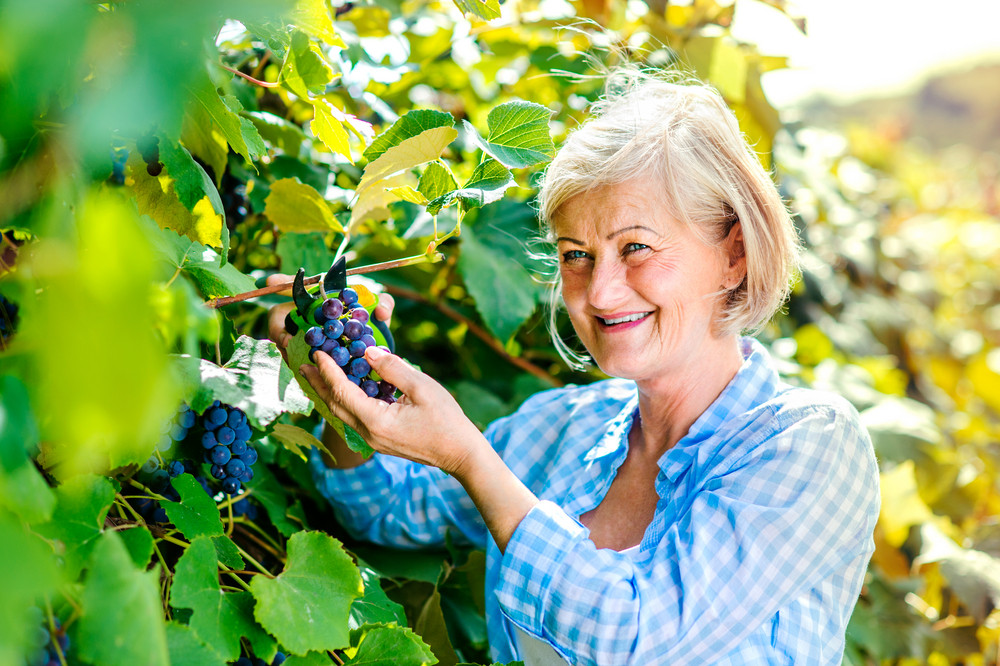 Portrait of a senior woman harvesting grapes
