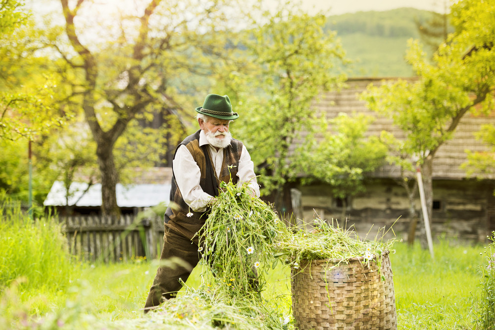 Portrait of old farmer with beard and hat putting mown grass to a big basket