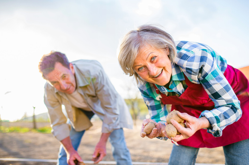 Senior couple planting potatoes into the soil, sunny spring nature