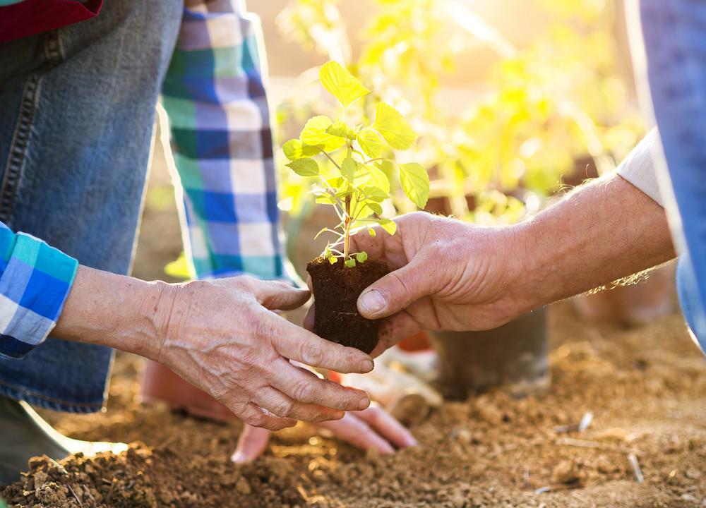 Senior couple planting seedlings in their garden
