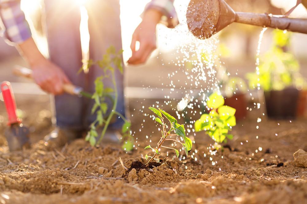 Senior couple watering seedlings in their garden