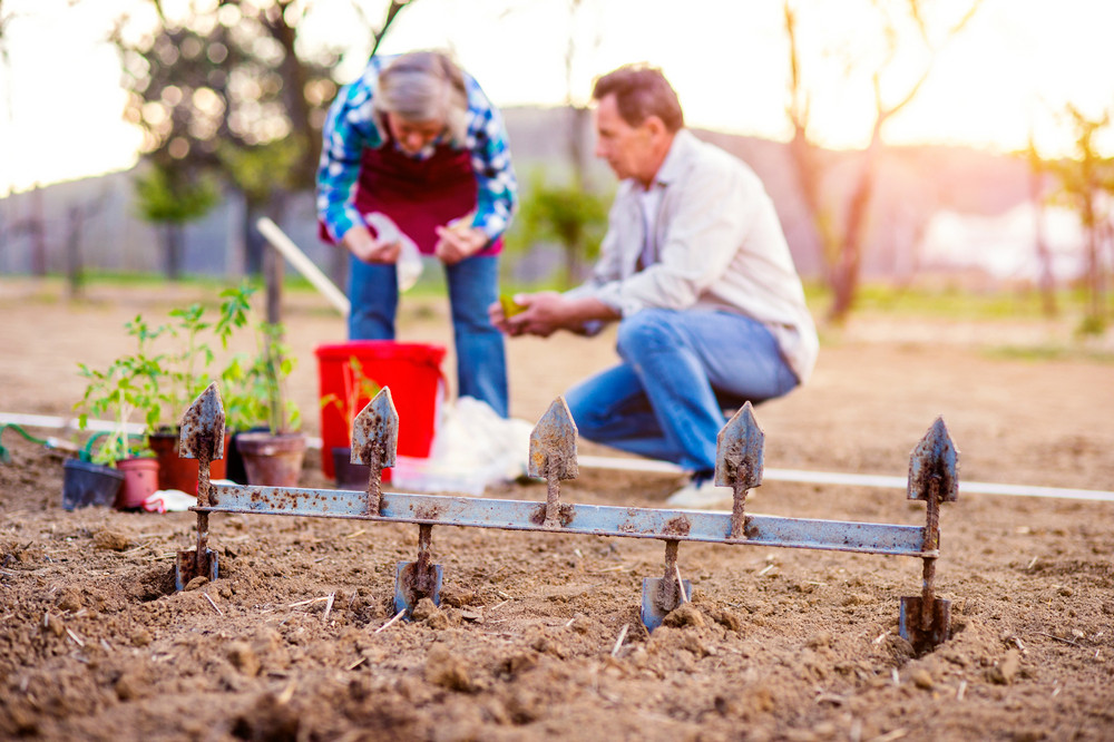 Senior woman and man in their garden plowing and planting seeds and seedlings, sunny spring nature
