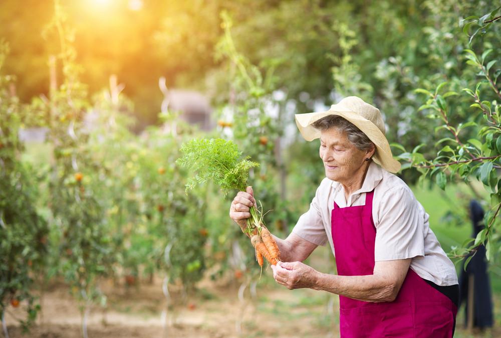 Senior woman in her garden harvesting carrots