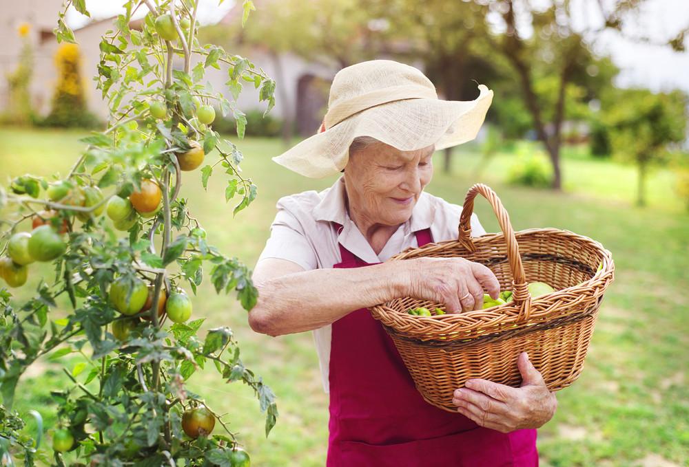 Senior woman in her garden harvesting green pepper