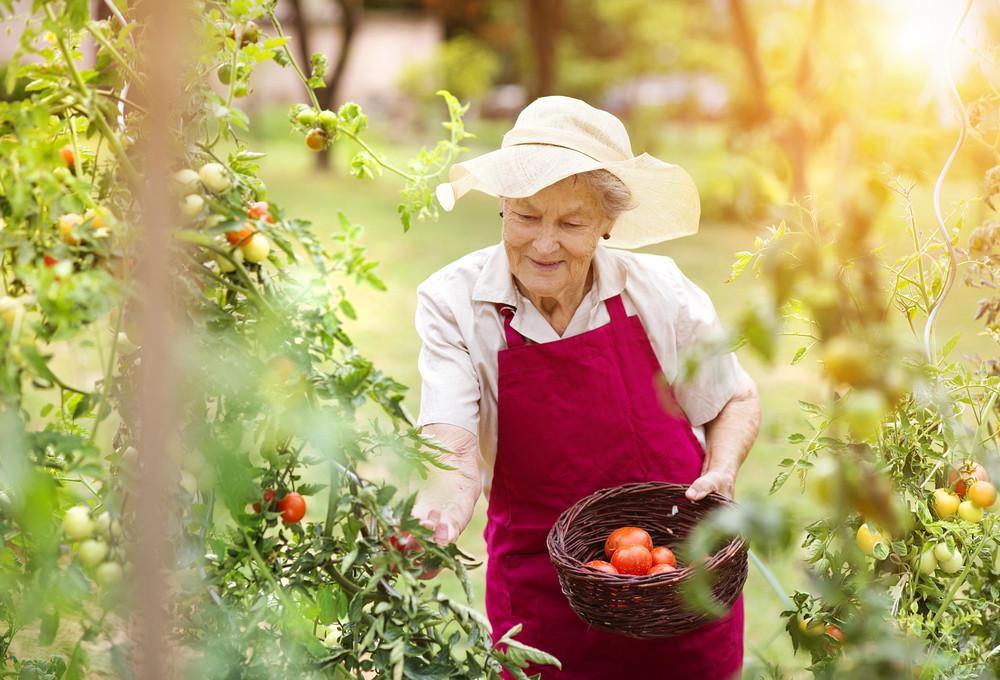 Senior woman in her garden harvesting tomatoes