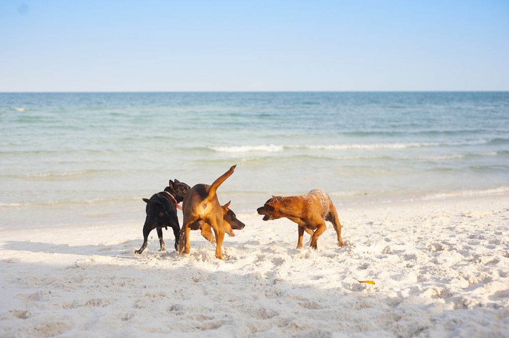 Three brown dogs playing on the sandy beach