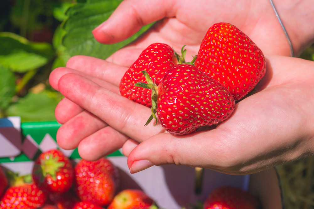 Tree fresh picked strawberries laying in open female hands