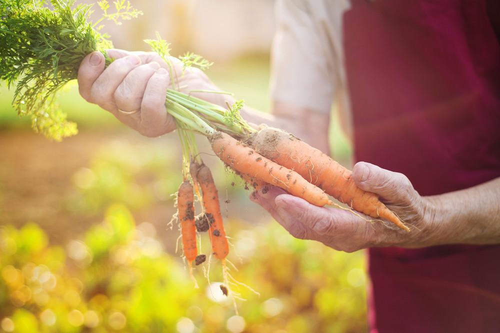 Unrecognizable senior woman in her garden harvesting carrots