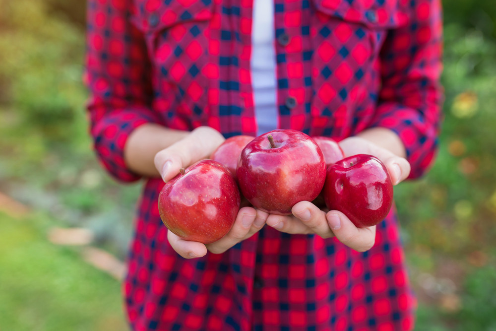 Unrecognizable young woman in red shirt harvesting apples