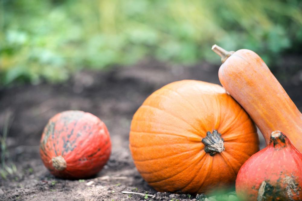 Various orange pumpkins laid on the ground. Sunny autumn nature.