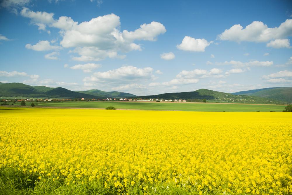 Yellow canola field under blue cloudy sky