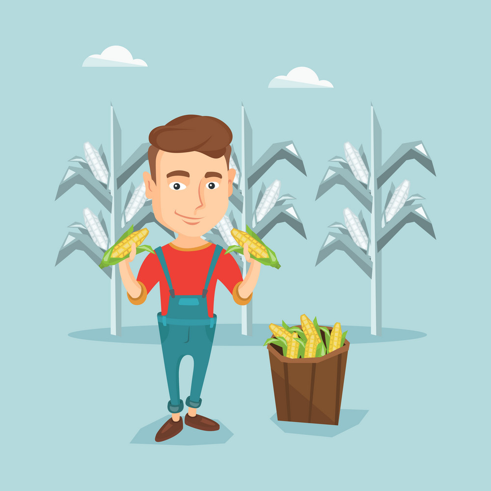 Young caucasian farmer holding corn cobs on the background of corn field. Farmer collecting corn. Happy smiling farmer standing near basket with corn. Vector flatdesign illustration. Square layout.