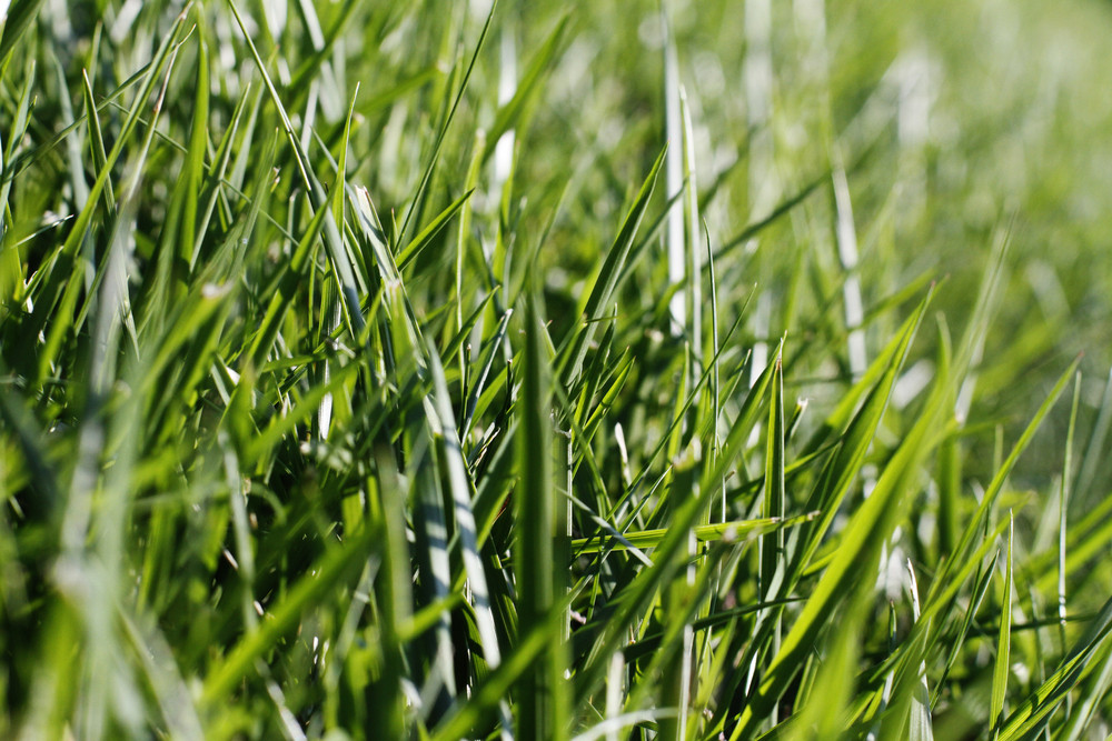 Grass And Wheat 16 Texture