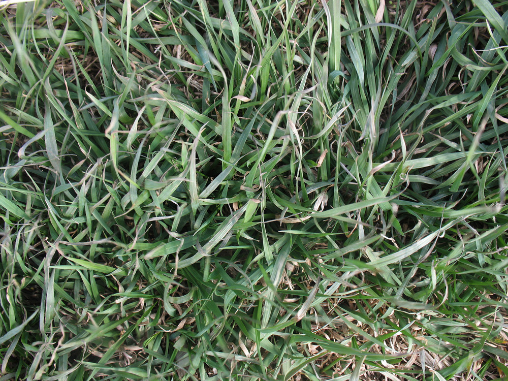 Grass And Wheat 23 Texture