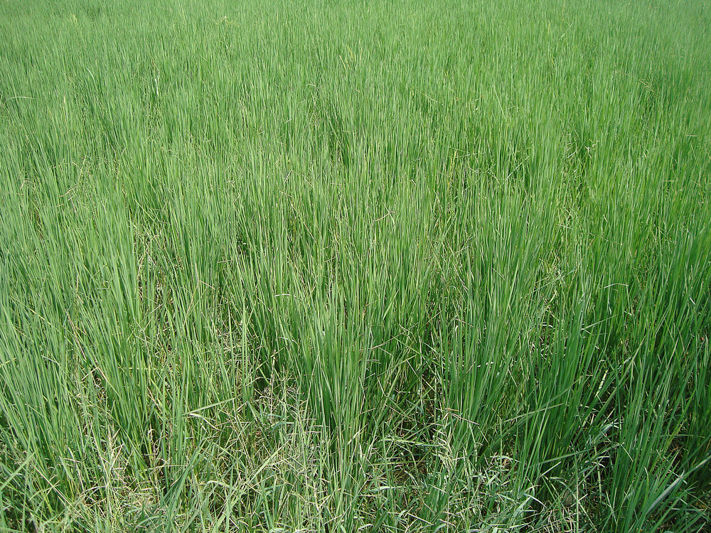 Grass_field
