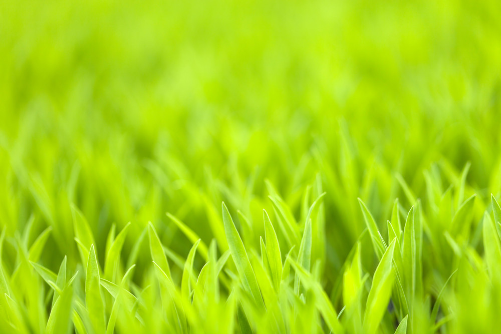 Grassy green grass or plant foliage close up.  Shallow depth of field.