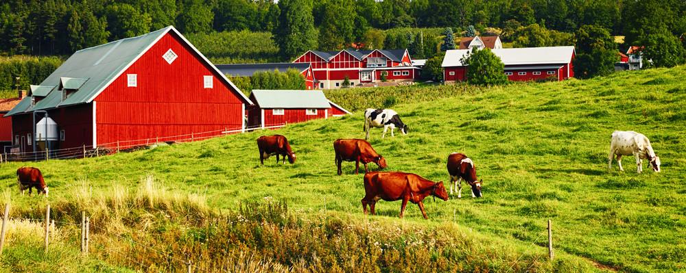 grazing cows in rural landscape