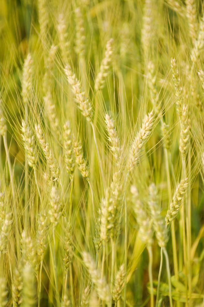 green barley field background